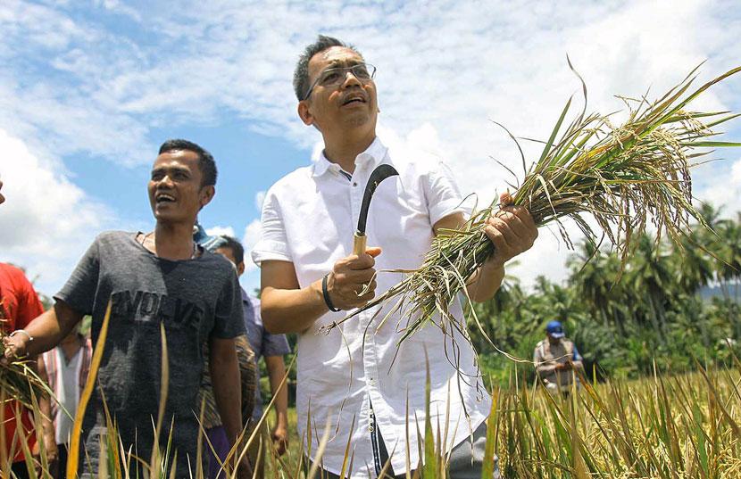 proses panen padi tradisional