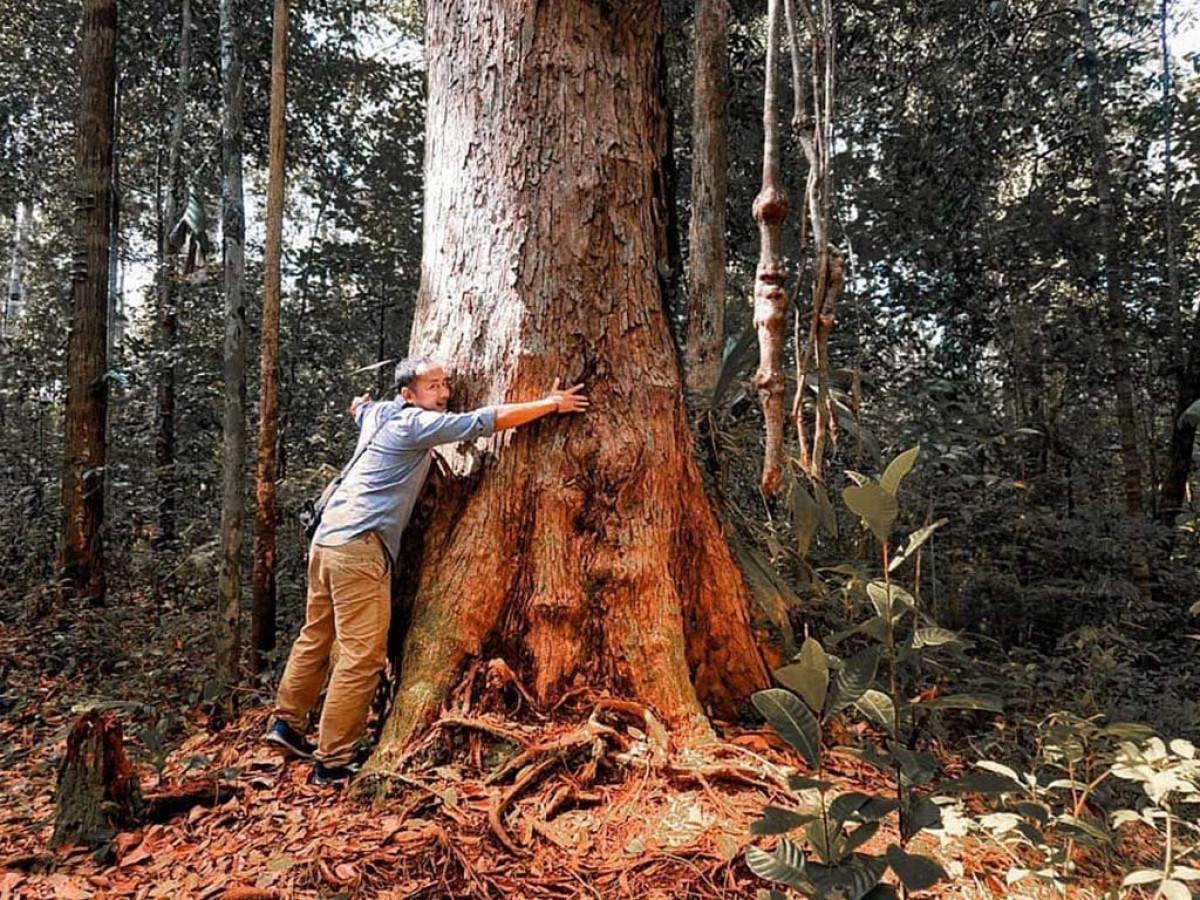 macam macam kayu kalimantan - pohon ulin