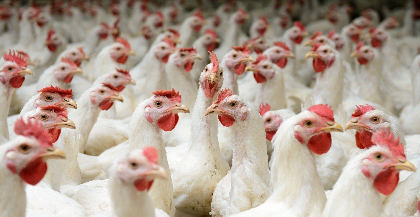 Cara Memelihara Ayam Potong dari Kecil Hingga Siap Panen