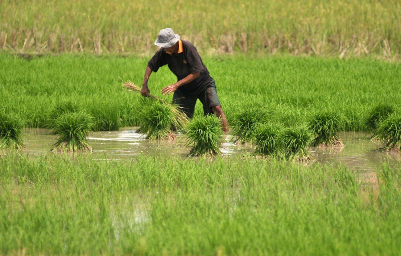 cara membuat benih padi sendiri