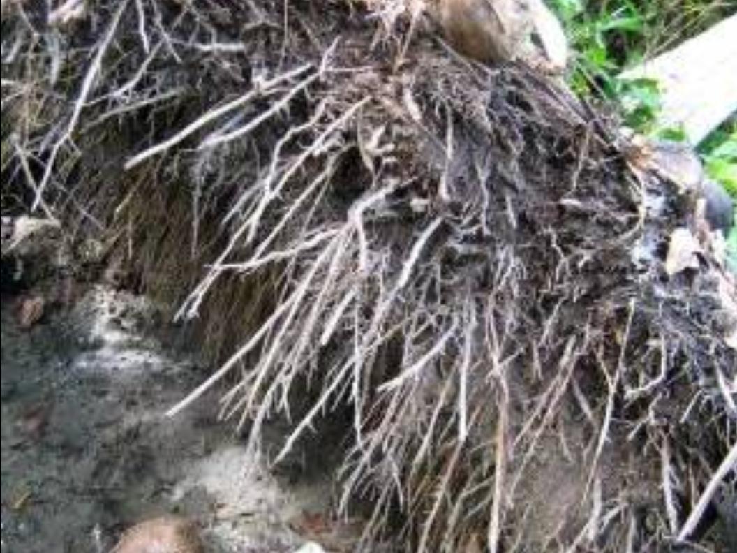 bagian bagian kelapa dan fungsinya