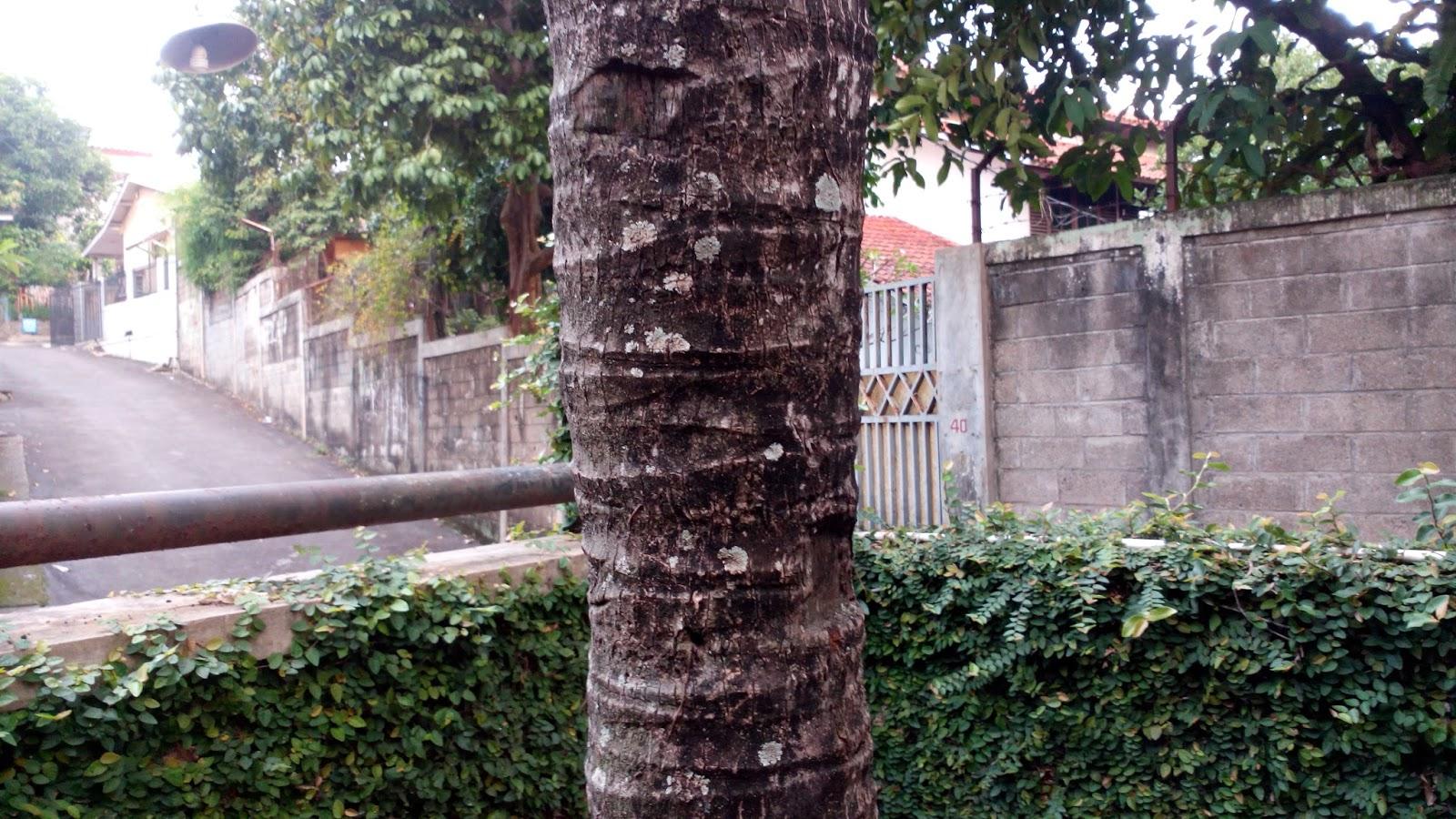 manfaat akar pohon kelapa