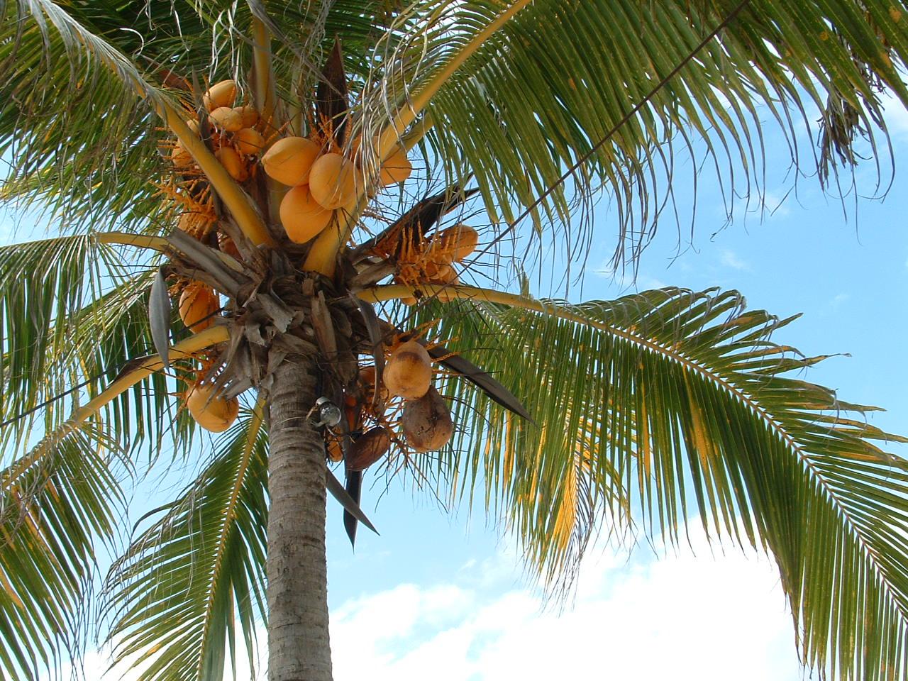 ciri khusus pohon kelapa dan fungsinya